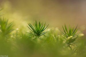 Vanaf laag standpunt lijken het wel mini boompjes. - Fotograaf: Ron Poot