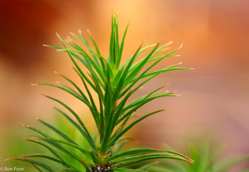 Fraai haarmos, het mooiste bosmos
