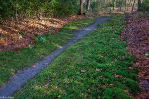 Fraai haarmos groeit massaal langs een bospad. - Fotograaf: Ron Poot