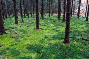In de ondergroei van een dennenbos zorgt fraai haarmos voor de donkergroene patronen. - Fotograaf: Ron Poot