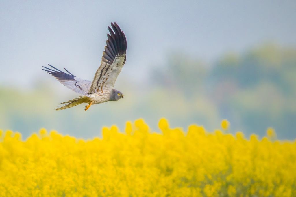 Vogels in koolzaad