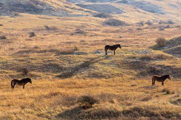 Paarden in Noordhollands duinreservaat