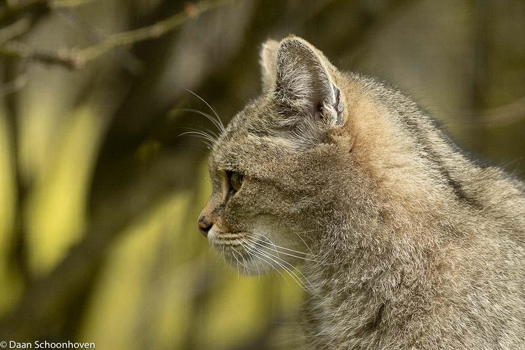 De wilde kat, terug van weggeweest