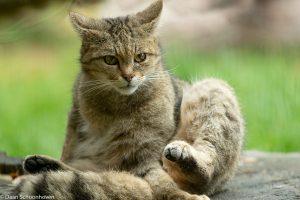 In wildparken laten de wilde katten zich goed observeren en verstoor je ze niet. - Fotograaf: Daan Schoonhoven