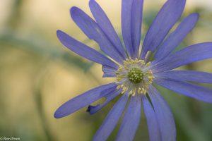 Detail opname van de vrij zeldzame blauwe anemoon. - Fotograaf: Ron Poot