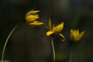 Drie bostulpen op een rij, donkere achtergrond. - Fotograaf: Ron Poot