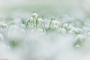 Dubbele sneeuwklokjes, dwars door de andere bloemen heen gefotografeerd. - Fotograaf: Ron Poot