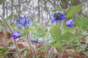 In april komen, na de bloemen, de karakteristieke bladeren tevoorschijn. - Fotograaf: Ron Poot