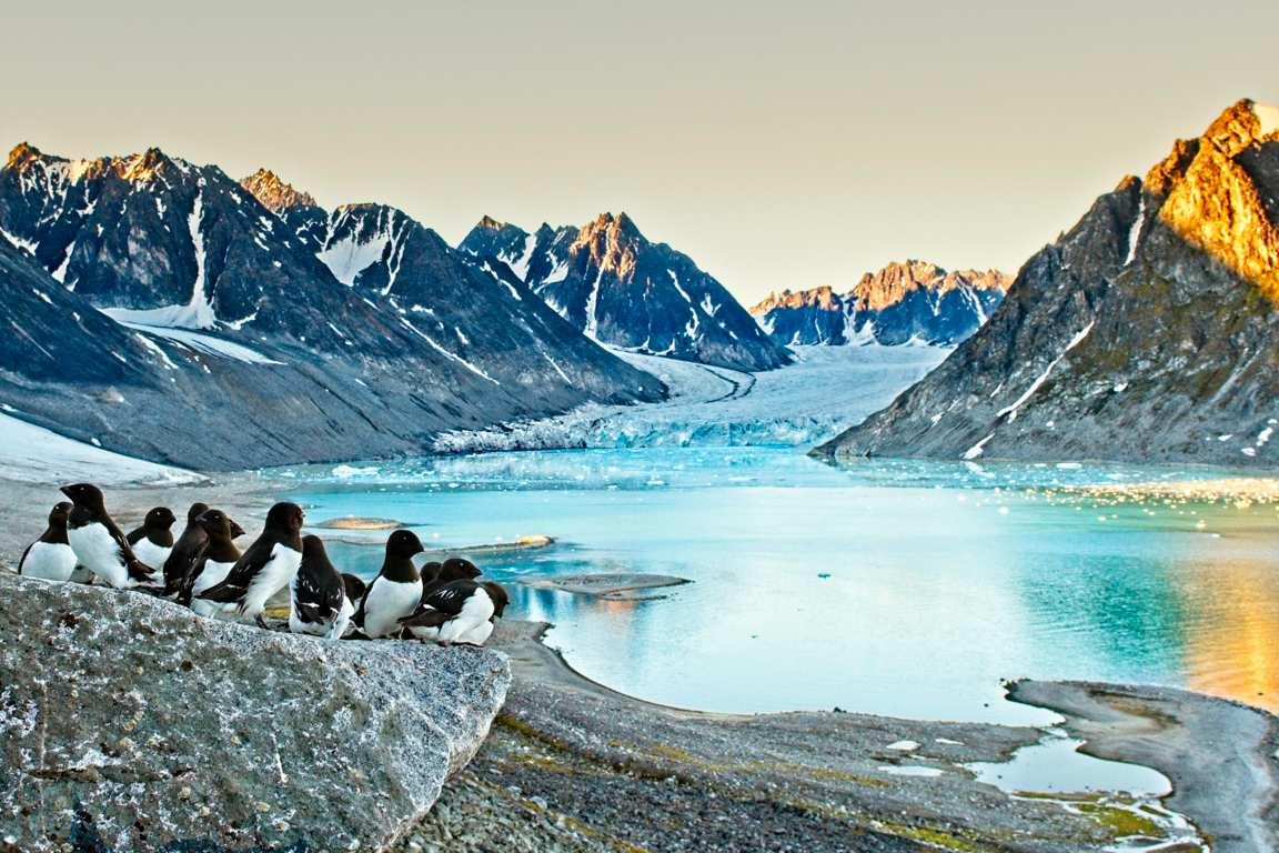 Kleine Alken met middernacht (Svalbard)