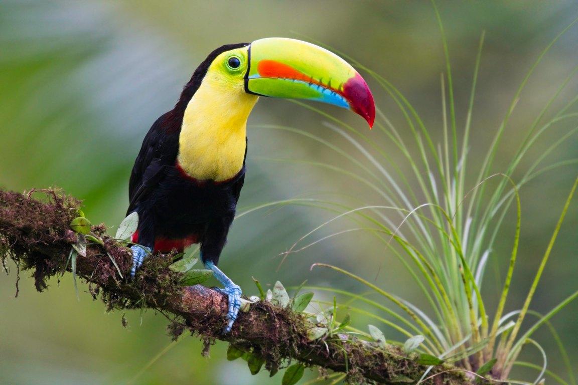 Toekan (Costa Rica)