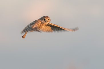 Aruban Burrowing Owl