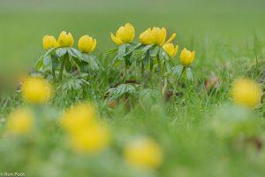 Winterakonieten van zeer laag standpunt, met bloemen vaag op de voorgrond.  - Fotograaf: Ron Poot