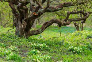 Stengelloze sleutelbloemen bloeiend in de lente. - Fotograaf: Nico van Kappel