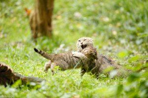 Net als huiskatten zijn de wilde katten dol op spelen. - Fotograaf: Bob Luijks