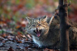 Wilde katten zijn niet voor de poes. - Fotograaf: Bob Luijks