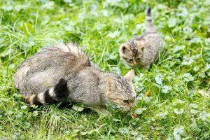 In het voorjaar krijgen de katten jongen, na een dracht van 60-70 dagen.  - Fotograaf: Bob Luijks