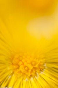 Detail van het hart van de bloem.  - Fotograaf: Nico van Kappel