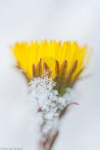Klein hoefblad bloeiend in sneeuw. - Fotograaf: Nico van Kappel
