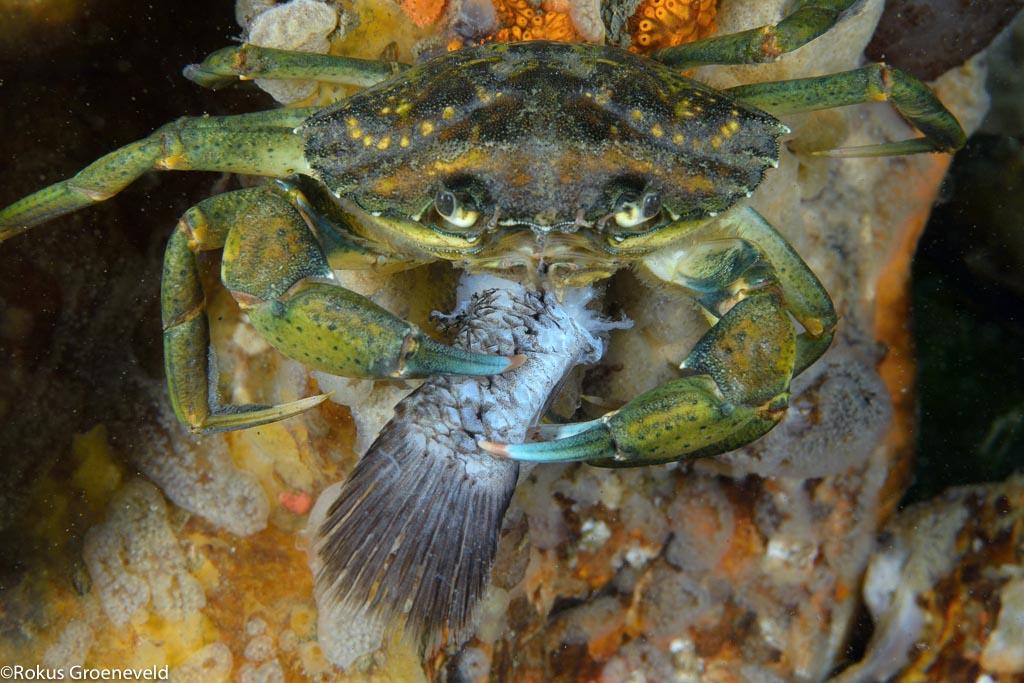 Krabben, in soorten en maten
