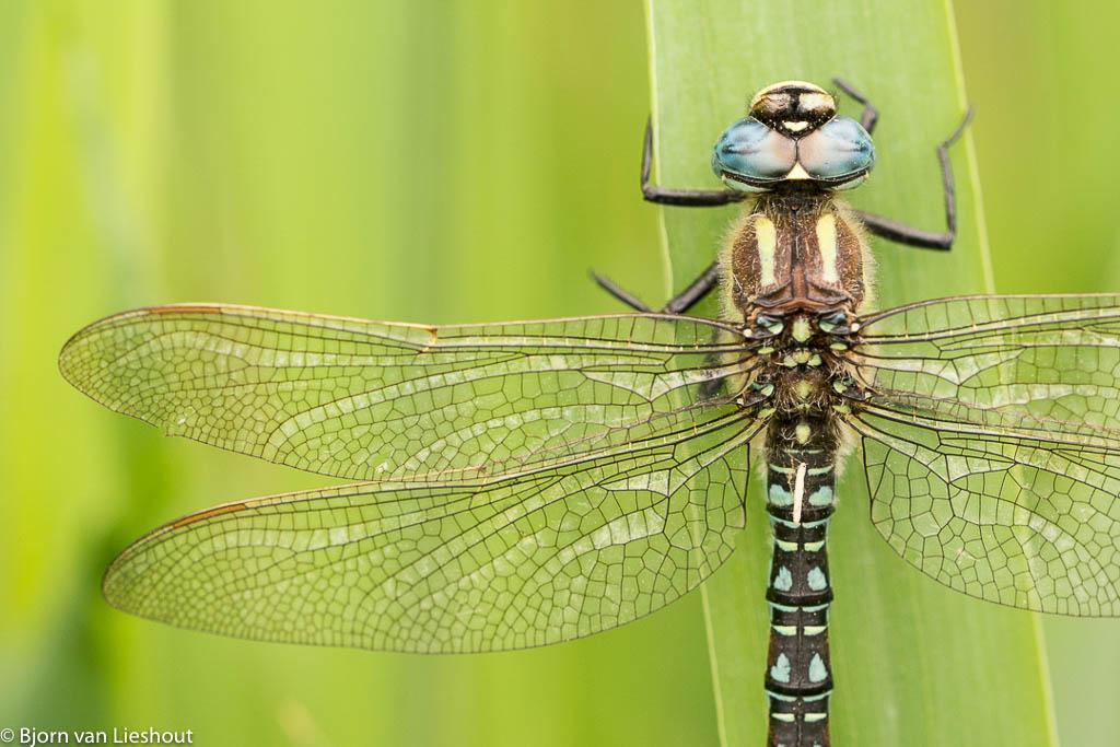 Glassnijder, een vroege vlieger onder de libellen