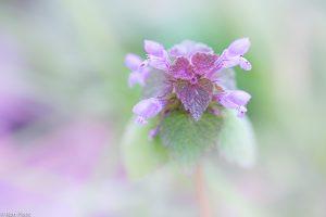 Viertalligheid is een kenmerk van alle lipbloemen en is ook bij de paarse dovenetel goed te zien. - Fotograaf: Ron Poot