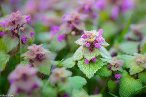 Planten van de paarse dovenetels hebben een  kenmerkende piramidevorm. - Fotograaf: Ron Poot