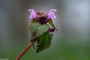 Van dichtbij is de fraaie lipvormig van de bloemen goed te zien. - Fotograaf: Ron Poot