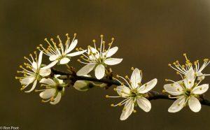 Macro opname van een tak met bloemen van sleedoorn. - Fotograaf: Ron Poot