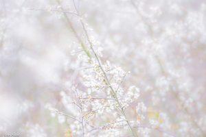 De witte bloesem van de sleedoorn, high-key. - Fotograaf: Ron Poot