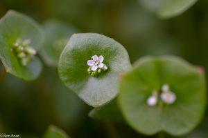 In april verschijnen de eerste bloemen boven het ronde blad. - Fotograaf: Ron Poot