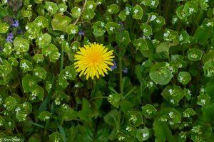 Winterpostelein groeit vaak samen met andere planten van  voedselrijke grond. - Fotograaf: Ron Poot