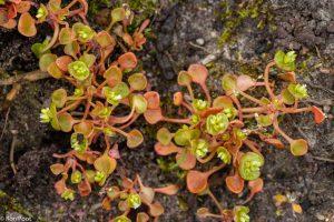 Al tijdens de bloei verkleuren de planten, wat voor de foto een kleurig beeld oplevert. - Fotograaf: Ron Poot