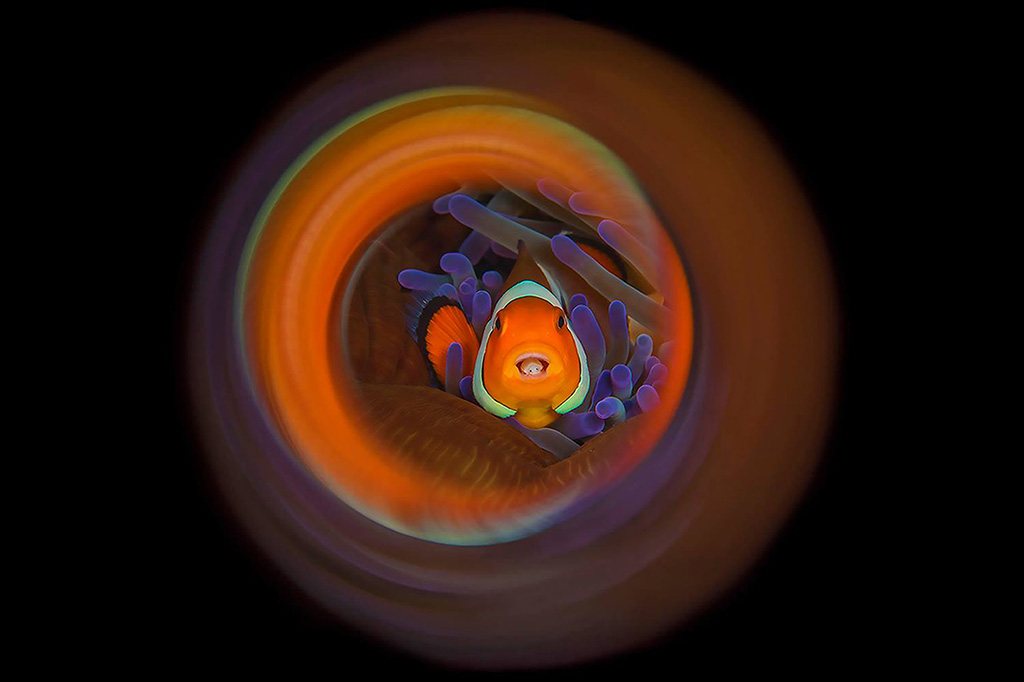 Clownfish Lembeh 2016