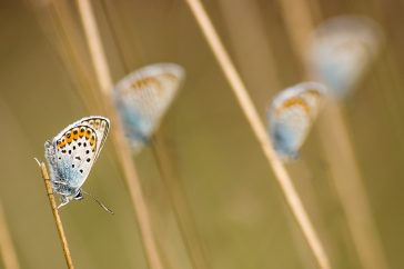 Four Silver-studded Blues (Plebejus argus) resting on unidentified vegetation