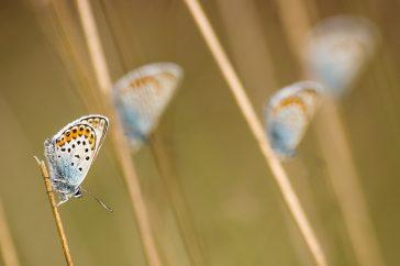 Four Silver-studded Blues (Plebejus argus) resting on unidentified vegetation