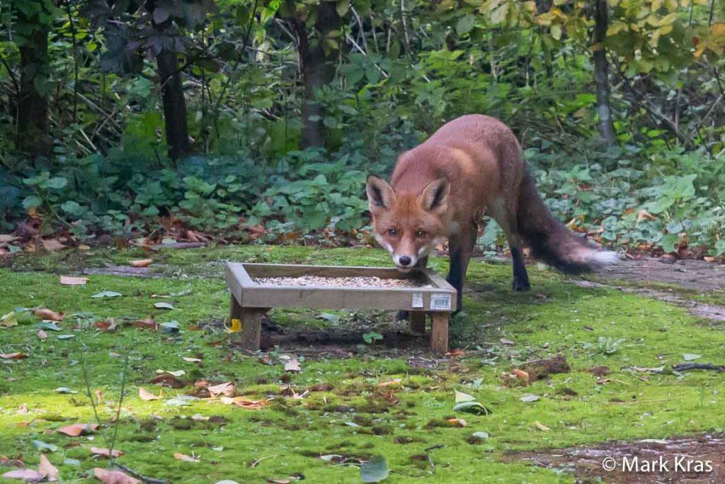 Fotogenieke vossen trekken bekijks in het Haagse Bos, als dat maar goed gaat