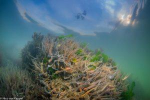 Brokkelsterren op steen onder aan een zeedijk in de monding van de Oosterschelde. - Fotograaf: Nico van Kappel