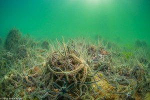 Brokkelsterren op zachte zeebodem. - Fotograaf: Nico van Kappel