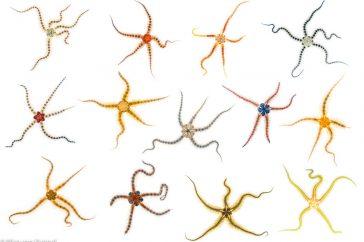 Brokkelster; Brittle star; Ophiothrix fragilis;