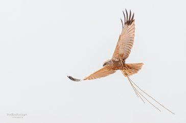 Bruine kiekendief vrouwman nestmateriaal