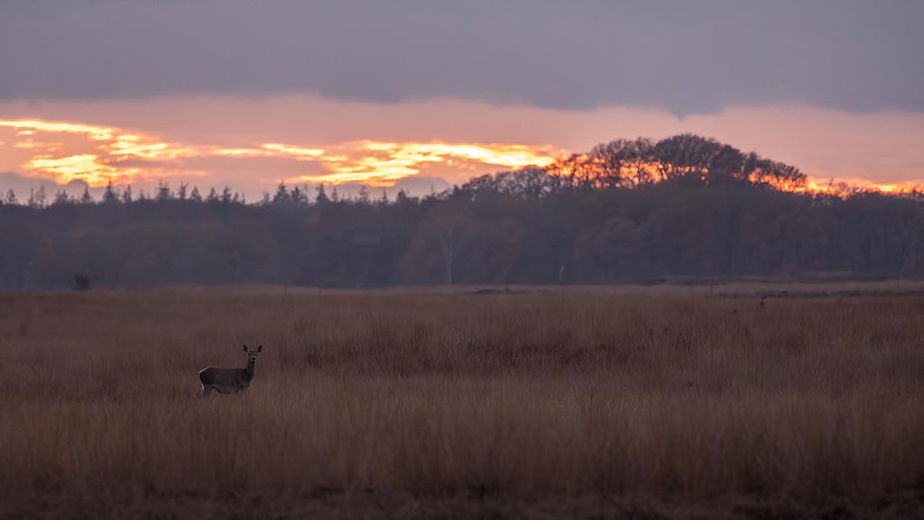 Hinde tijdens zonsondergang