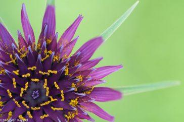 Een stukje van de stralende bloem van paarse morgenster
