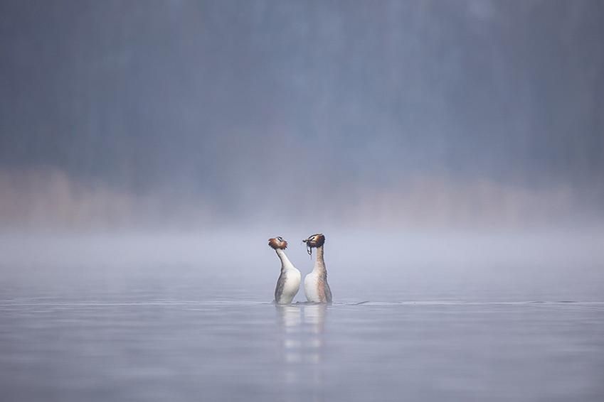 Pinguindans van de fuutjes