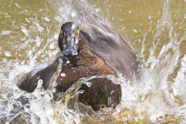 Badderende eend