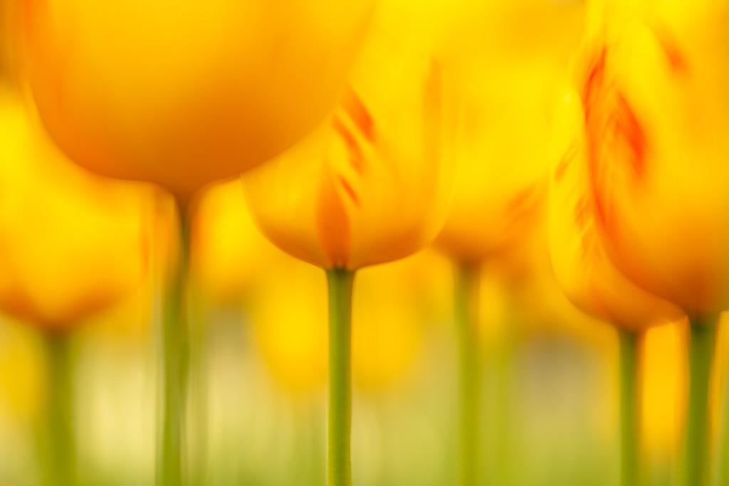 Close-up tulpen