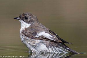 Een plasje water is erg aantrekkelijk voor de vogels.  - Fotograaf: Christien van der Veen
