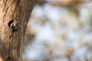 Bonte vliegenvangers broeden graag in boomholtes, bijvoorbeeld een verlaten nest van een specht. - Fotograaf: Danny Slijfer