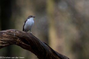 Je vindt de bonte vliegenvanger vooral in halfopen loof- en gemengde bossen, parken en grote tuinen. - Fotograaf: Christien van der Veen