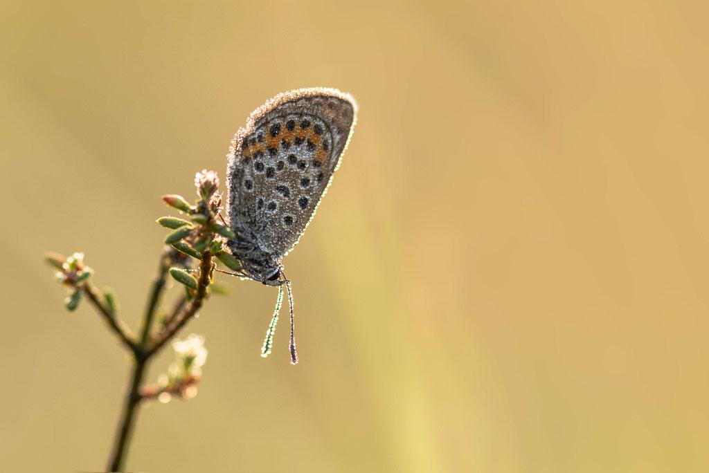 Vlinder met dauw