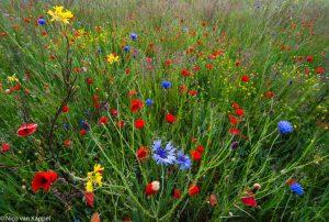 Kleurig beeld van bloeiende akkerplanten. - Fotograaf: Nico van Kappel